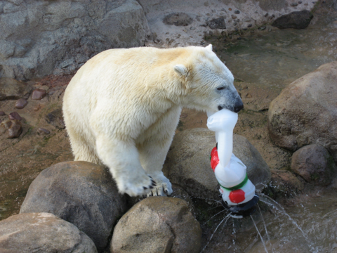polar bear, enrichment, frosty the snowman, plastic frosty the snowman, Memphis Zoo