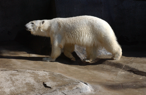 Haley the polar bear, polar bear, Memphis Zoo, Haley's Comet
