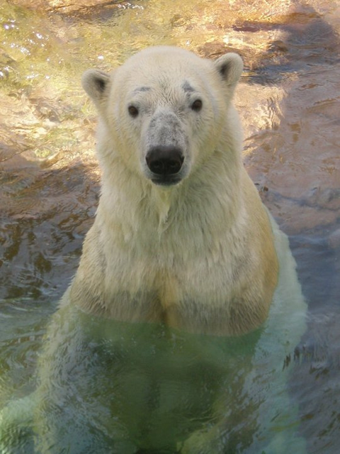 Payton the polar bear, polar bear, Memphis Zoo, Walter Payton, Chicago Bears