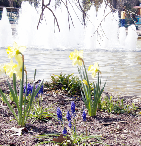 Spring Flowers, Memphis Zoo, Zoo Courtyard, Daffodils