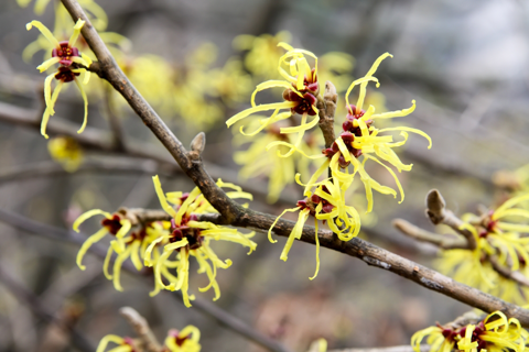 witch hazel, memphis zoo, horticulture blog, zoo horticulture, teton lodge