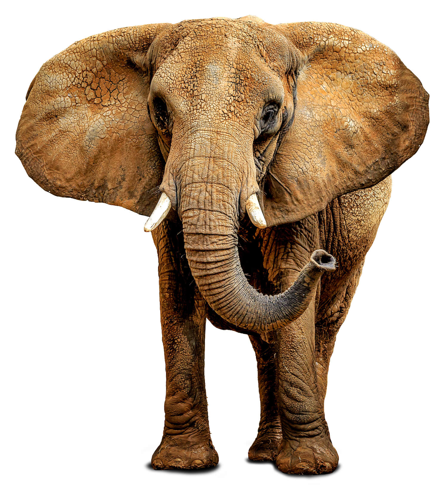 North America's Oldest African Elephant