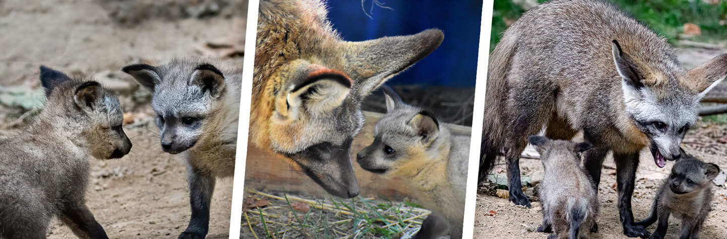 Collage of fox kits