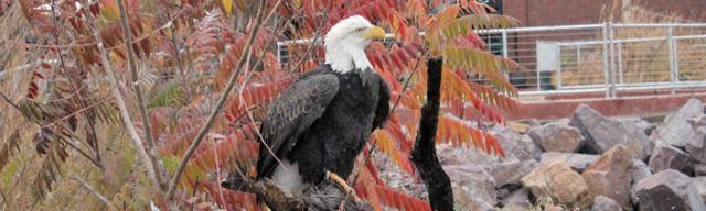 Bald Eagle Virtual Program