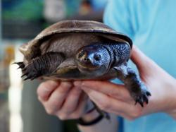 Reimann's Turtle
