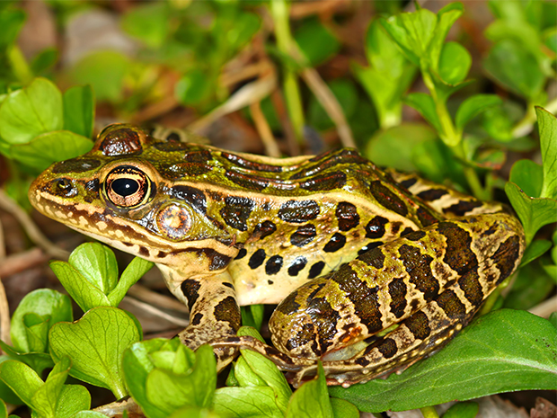 FrogWatch USA Citizen Science Certification