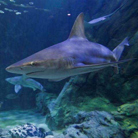 Sandbar Shark image