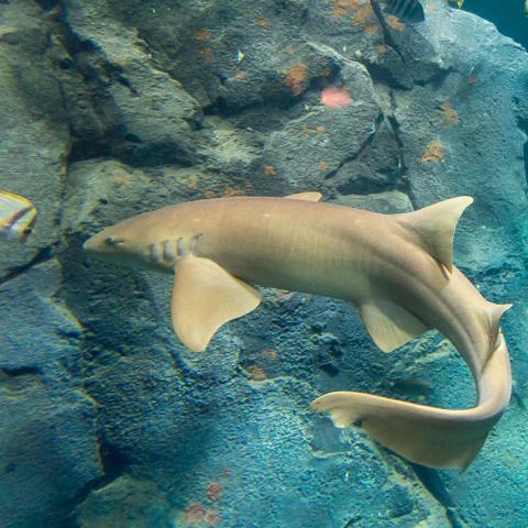 Nurse Shark image