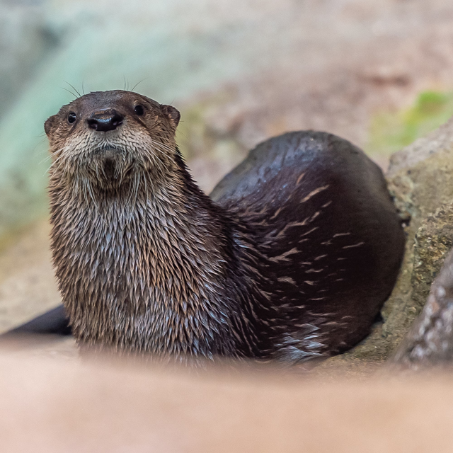 North American Otters image