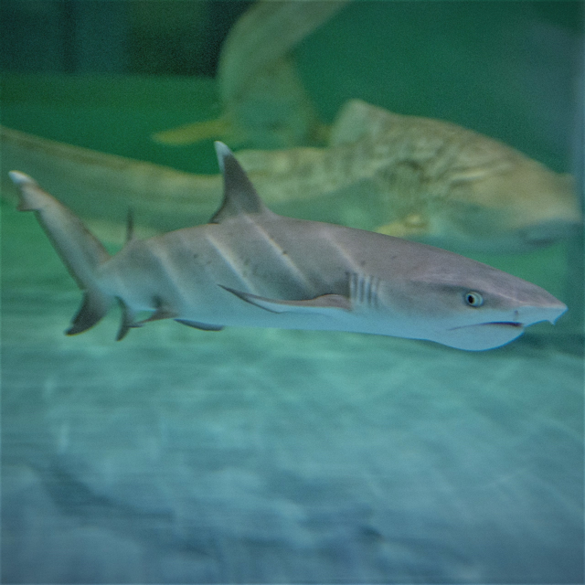 Whitetip Reef Shark image