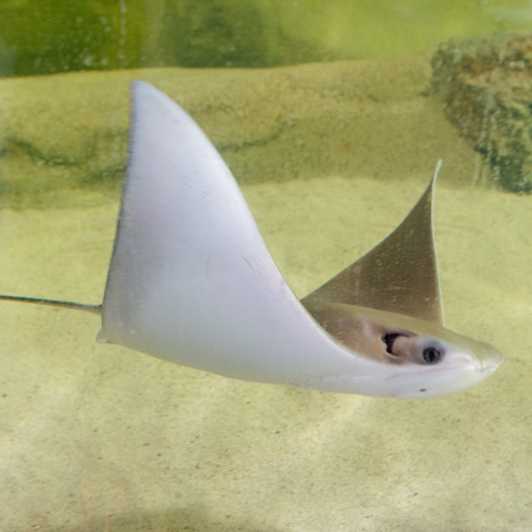 Cownose Ray image