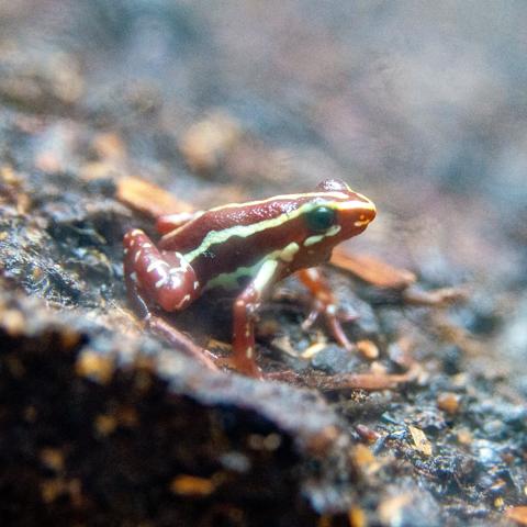 Dyeing Dart Frog image