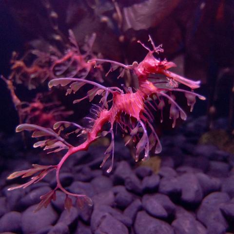 Leafy Sea Dragon image