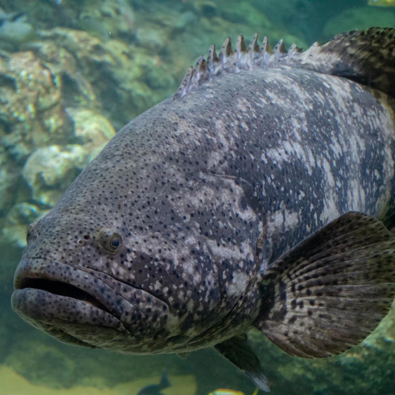 Atlantic goliath grouper  image