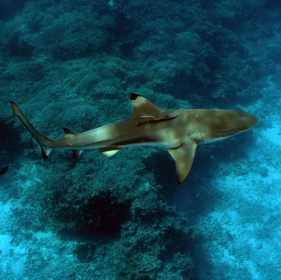 Blacktip Reef Shark image