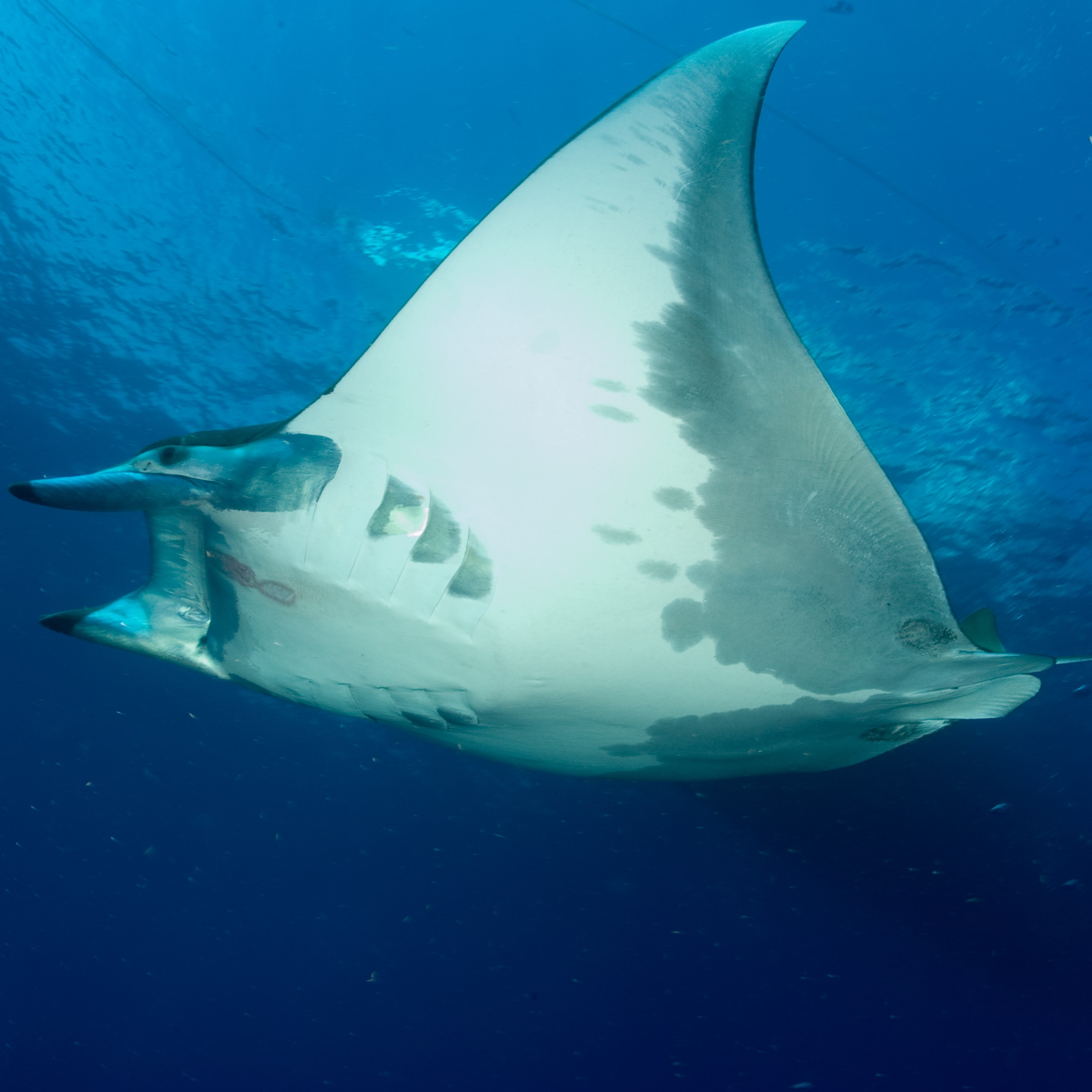 Lesser Devil Ray image