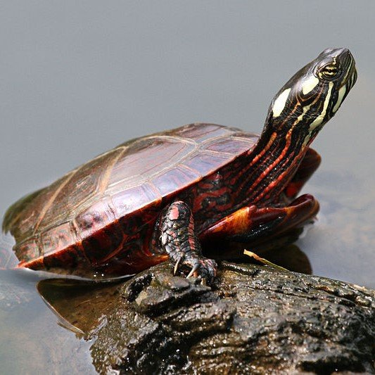 Painted Turtle image