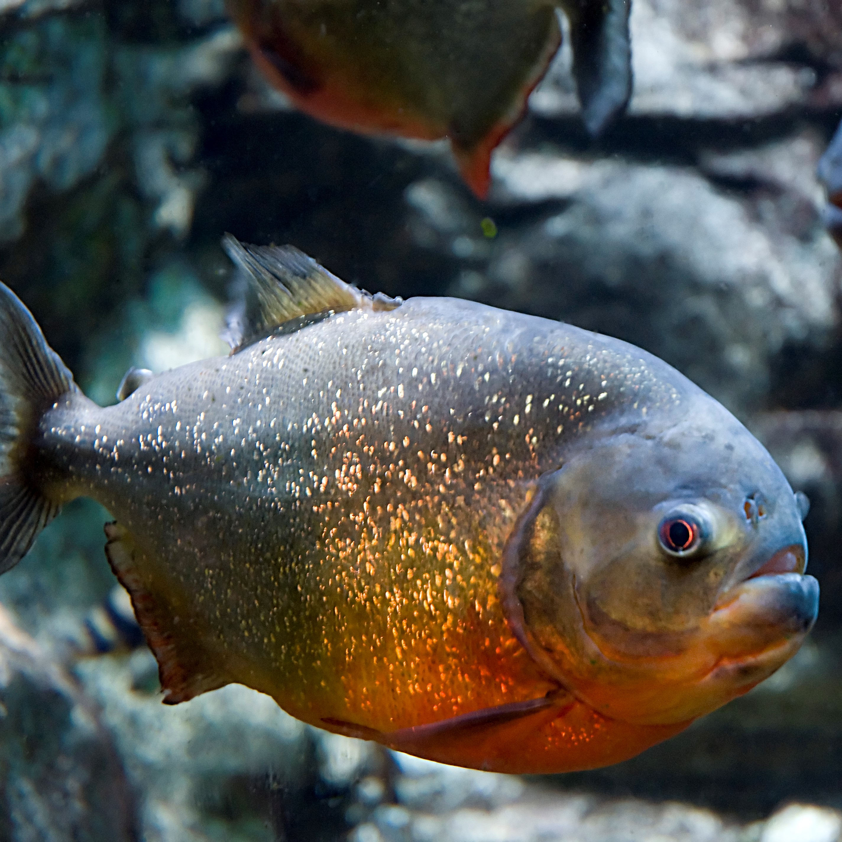 Red Bellied Piranha image