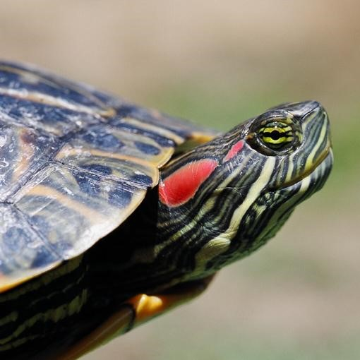 Red Eared Slider image