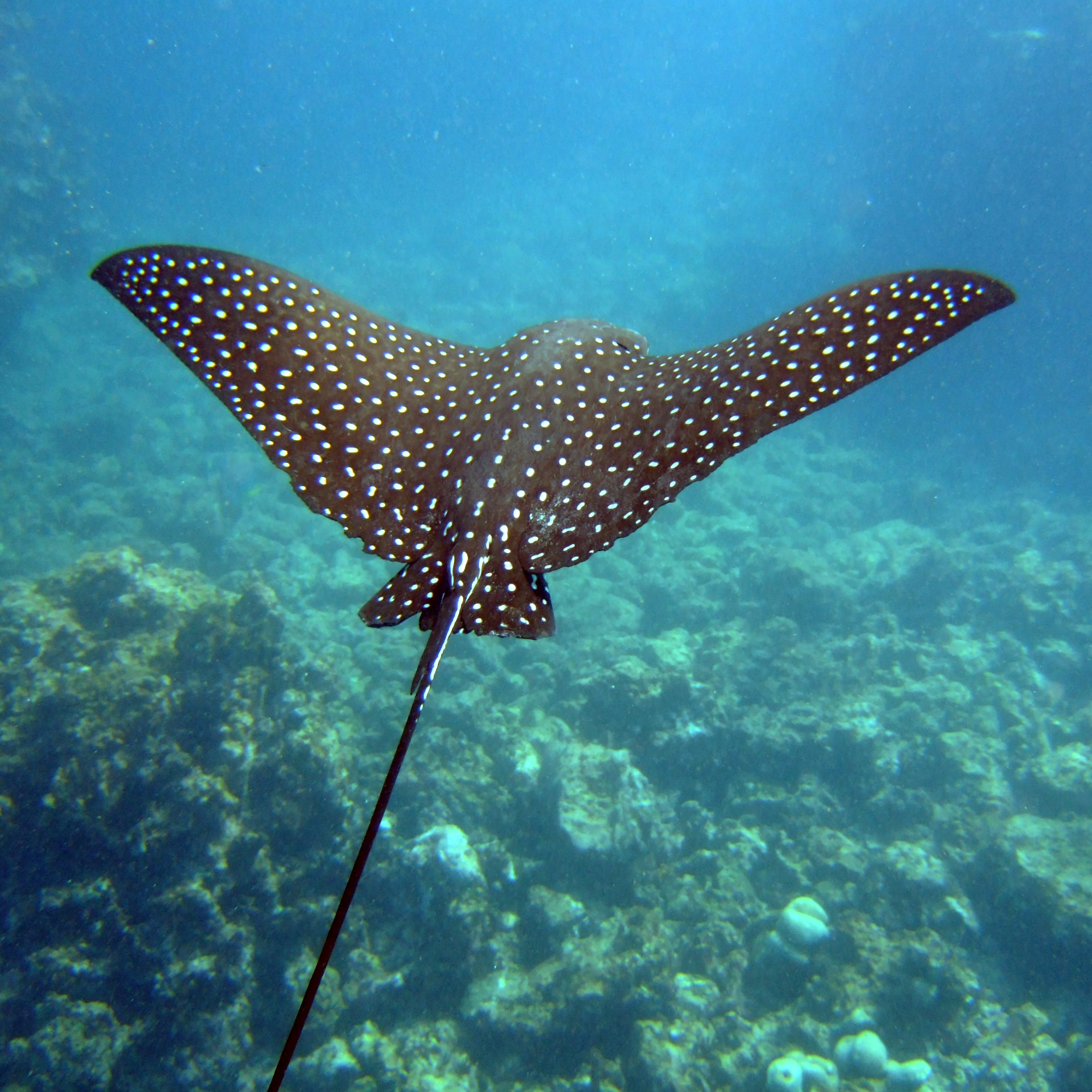 Spotted Eagle Ray image