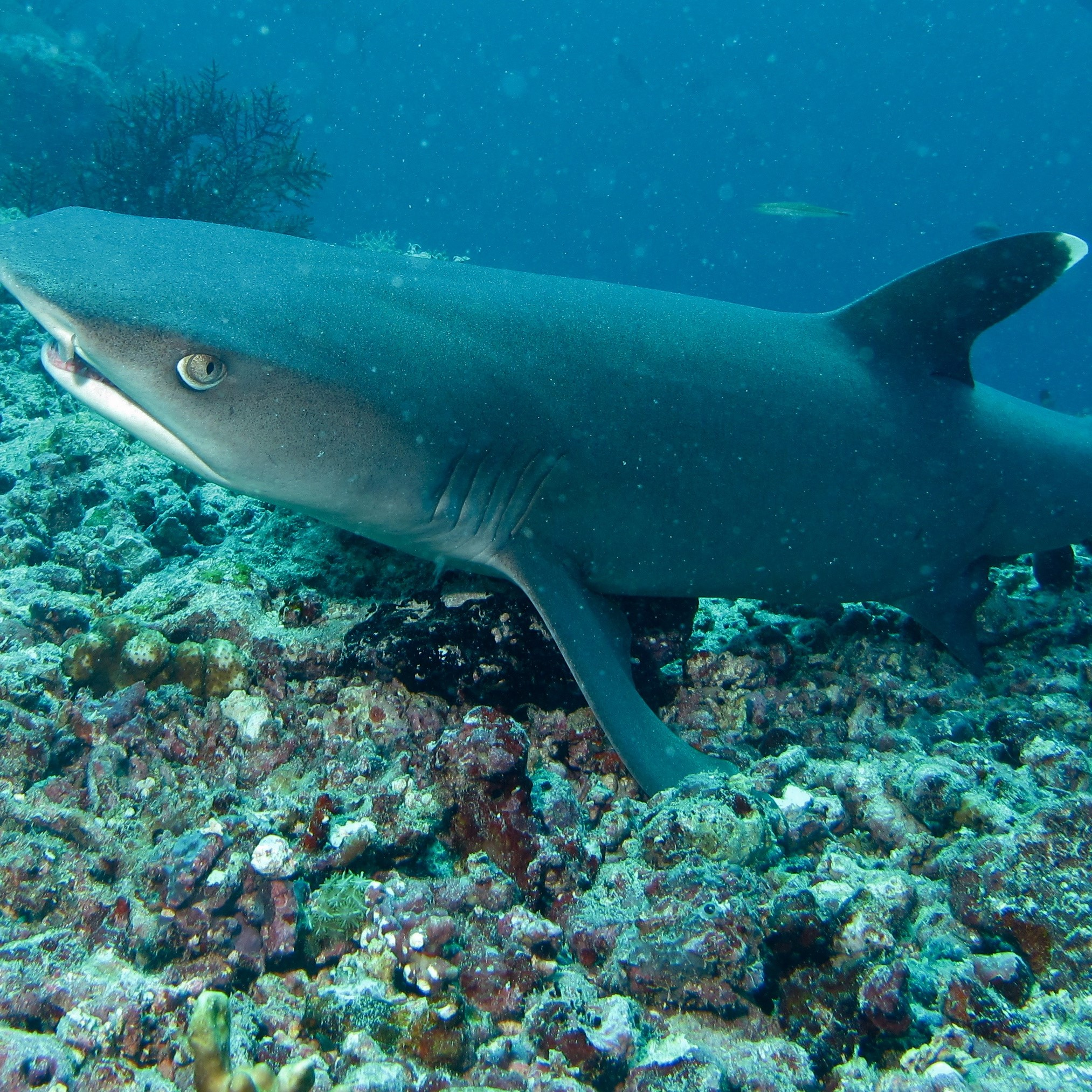 Whitetip Reef Shark image