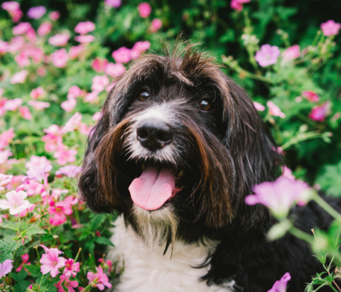 A dog poses for a photo in front of a flower bed at the Tulsa Botanic Garden during the event Dog Days of Summer in Tulsa, Oklahoma.