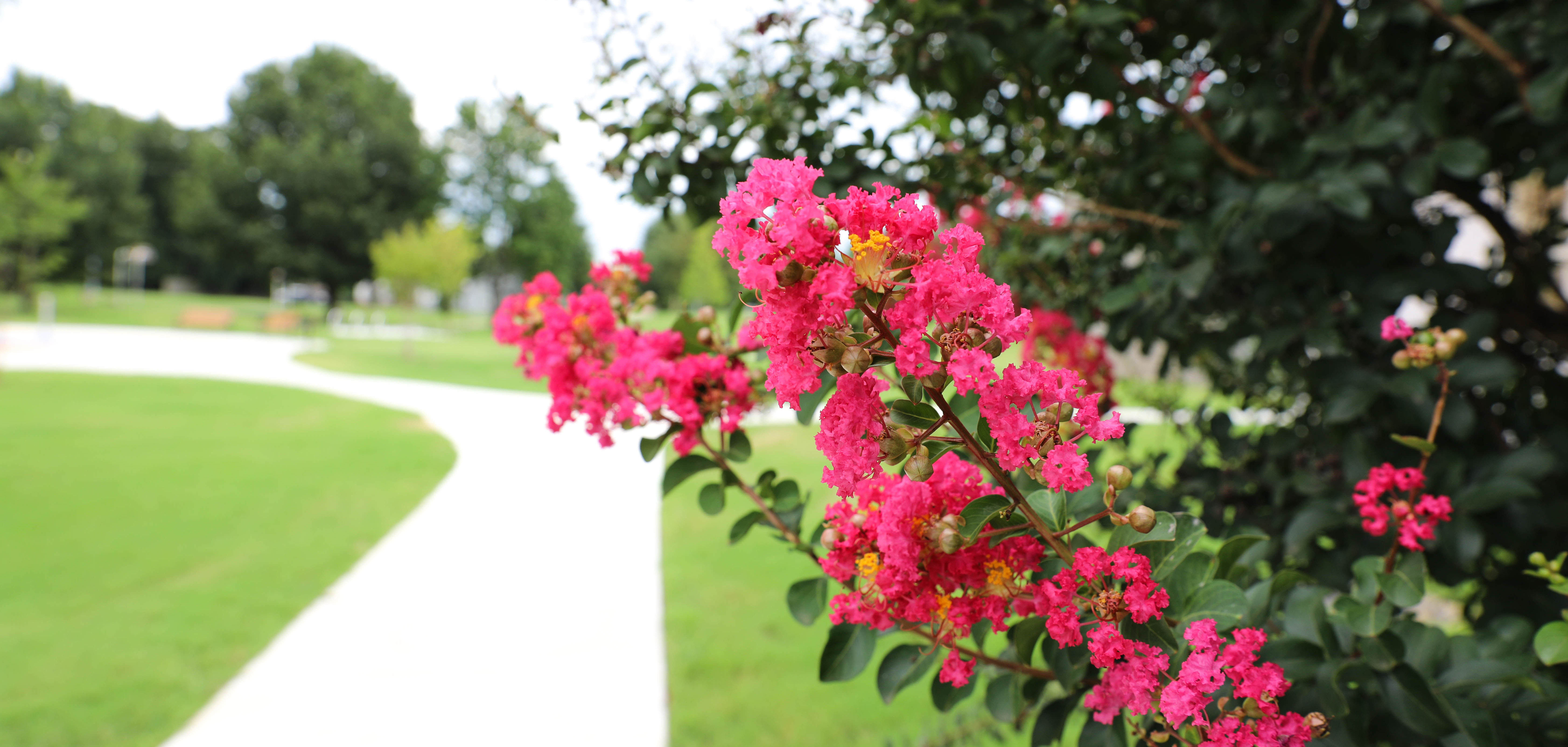 Bright pink flowers at Lacy Park in North Tulsa.