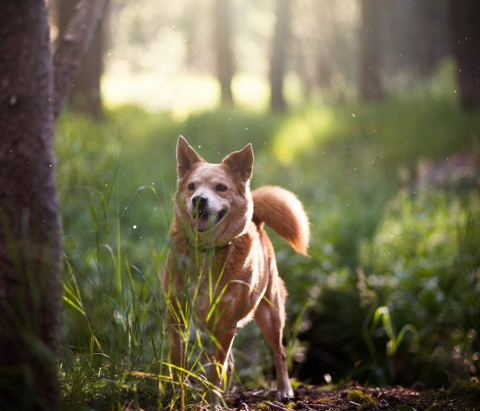 A dog explores the woods at Turkey Mountain Urban Wilderness Area located in Tulsa, Oklahoma.