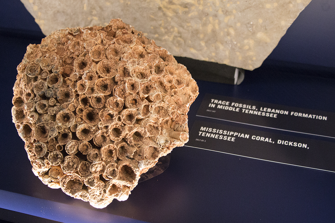 Mississippian coral from Dickson, Tennessee.