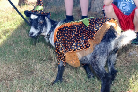 Since the festival happens around Halloween, people dress up themselves- and their goats!