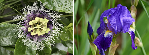 Passionflower and Iris