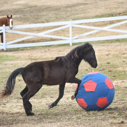 Duke, a Tennessee Walking Horse, is one year old.