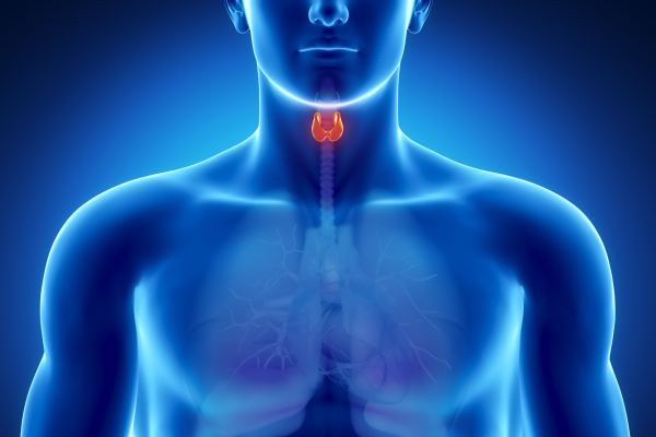 thyroid resized 600