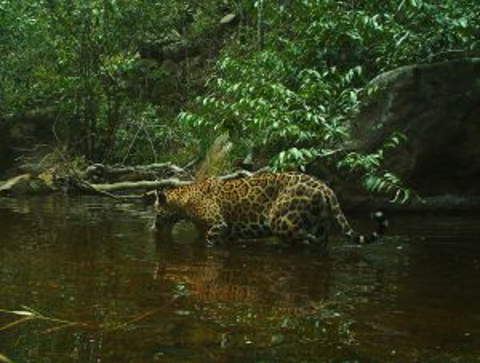 Jaguar walking through water in Guyana Central America