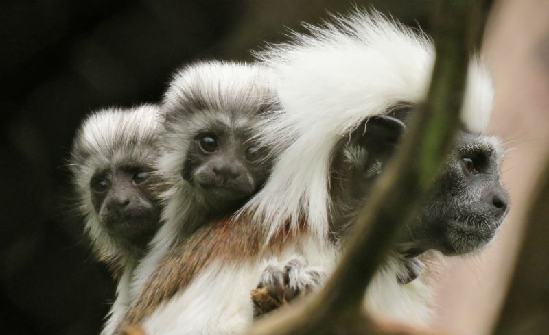 Two young cotton top tamarins with mother