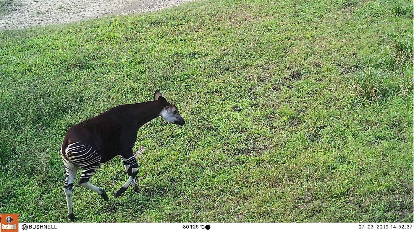 Okapi running in green grass
