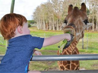Young boy feeds lettuce to a giraffe.