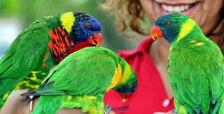 Close up of 3 lorikeets being fed by a woman.