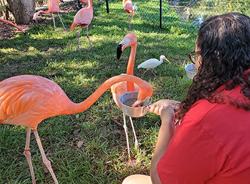 Flamingo feeeding.