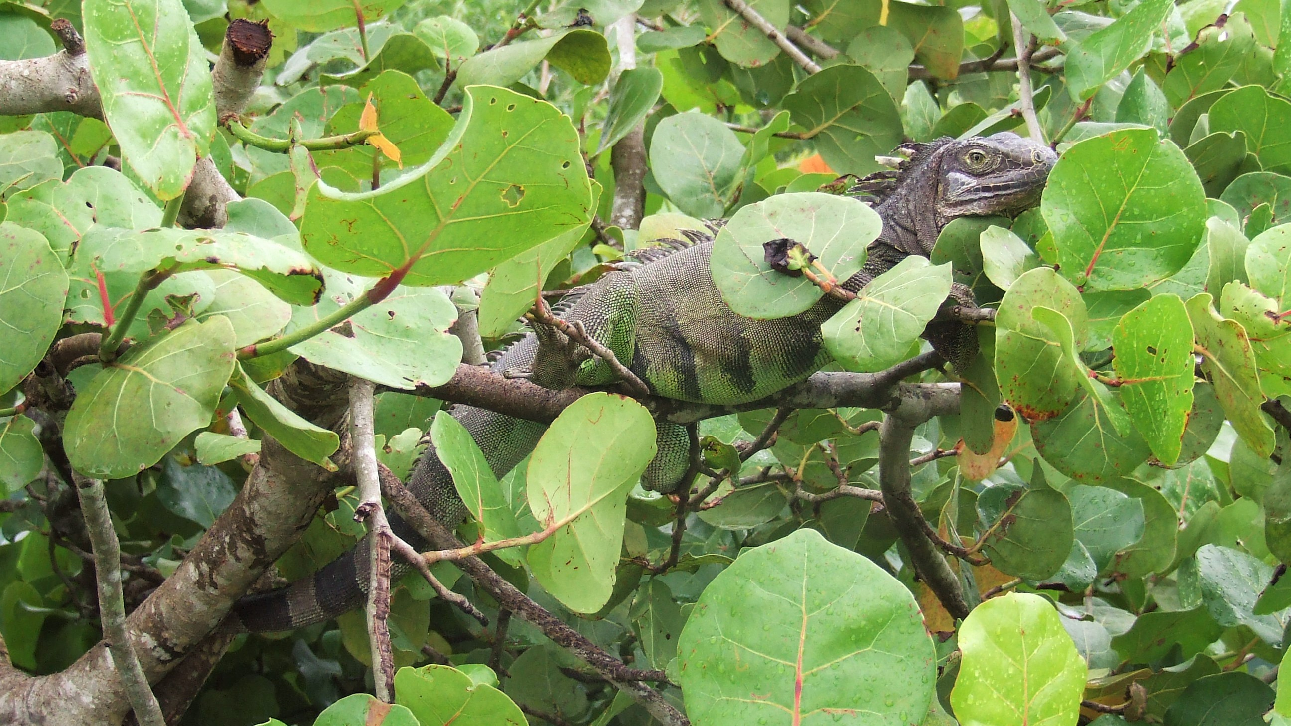 Green iguana resting on branches in sea grape plant.