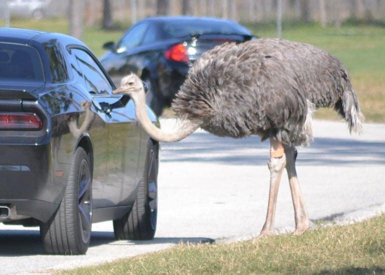 Ostrich at car window.