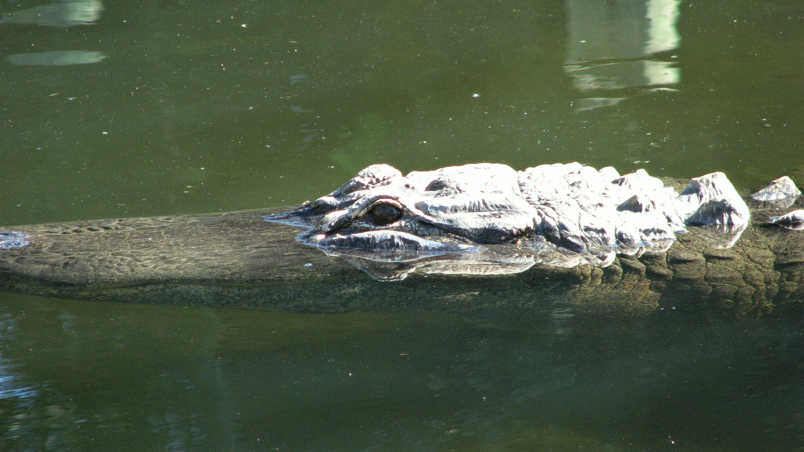 American alligator partially submerged.
